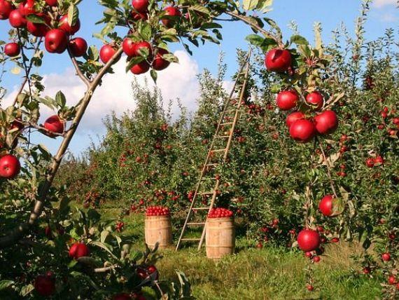 Rusia nu mai importă mere și lapte, ci puieți de măr și vaci de lapte; Noua strategie a lui Putin