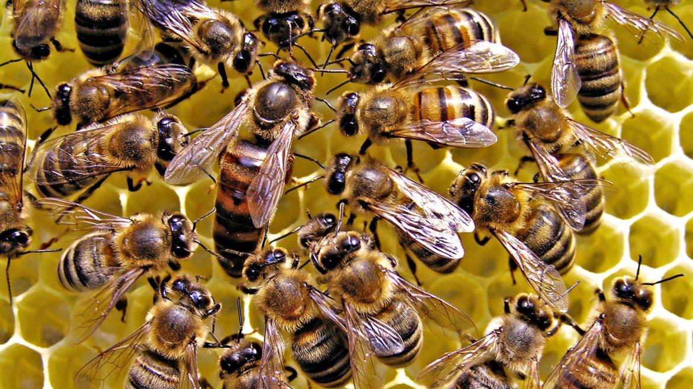 (FOTO) Albinele robot vor ajuta albinele lucrătoare