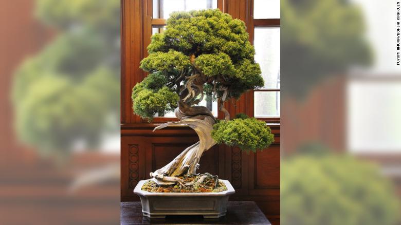 (FOTO) Jaf într-o grădină de bonsai. Hoțul a furat un exemplar în valoare de aproape 100.000 de dolari